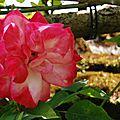 Rosa' albert poyet'