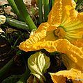 Courgette et sa fleur (Charolles, juillet 2013)