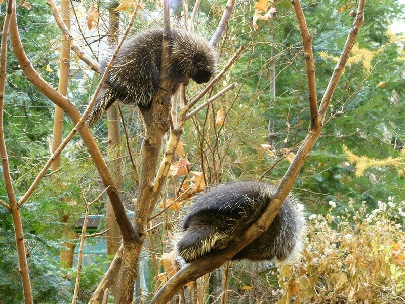 1024px-Tree_Climbing_Porcupines