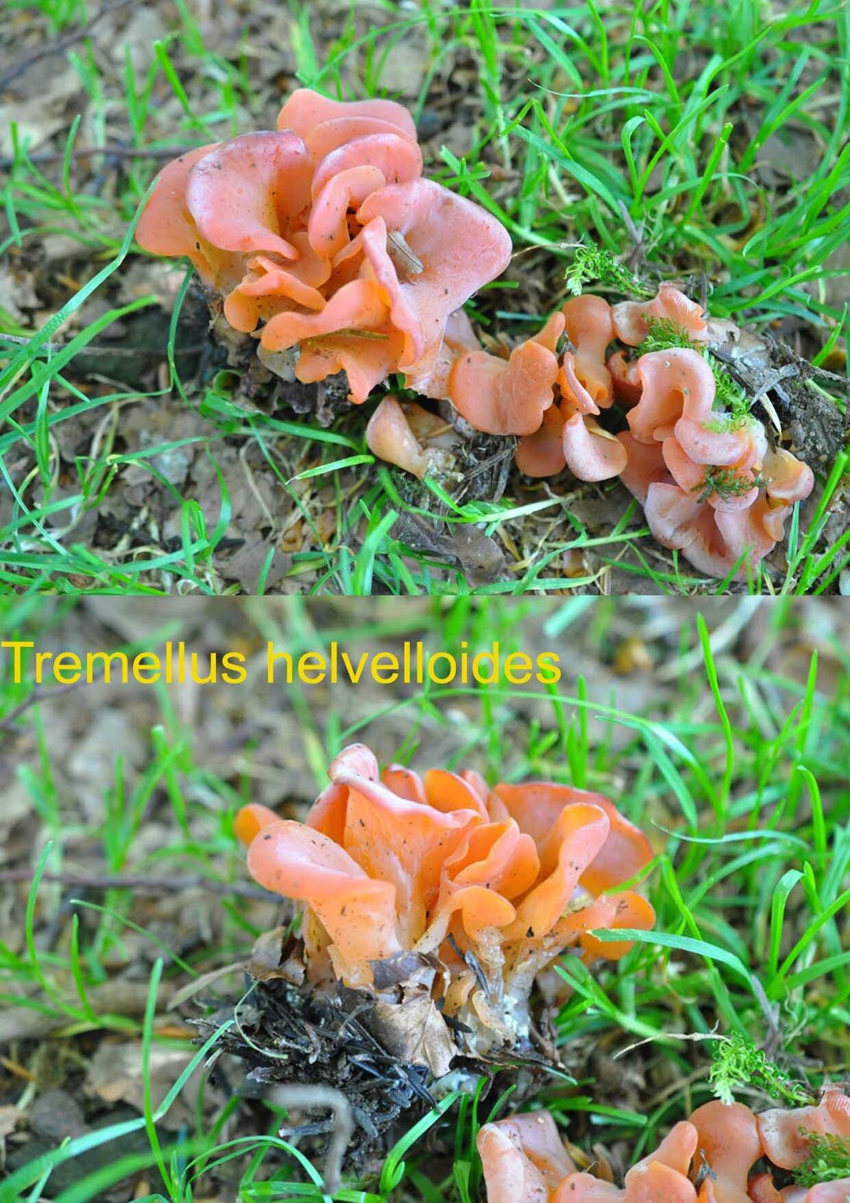 Tremellus helvelloides