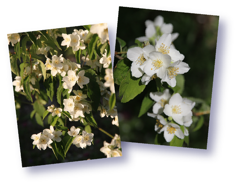 fleurs de seringa