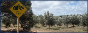 olive_country