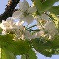 les fleurs du cerisier