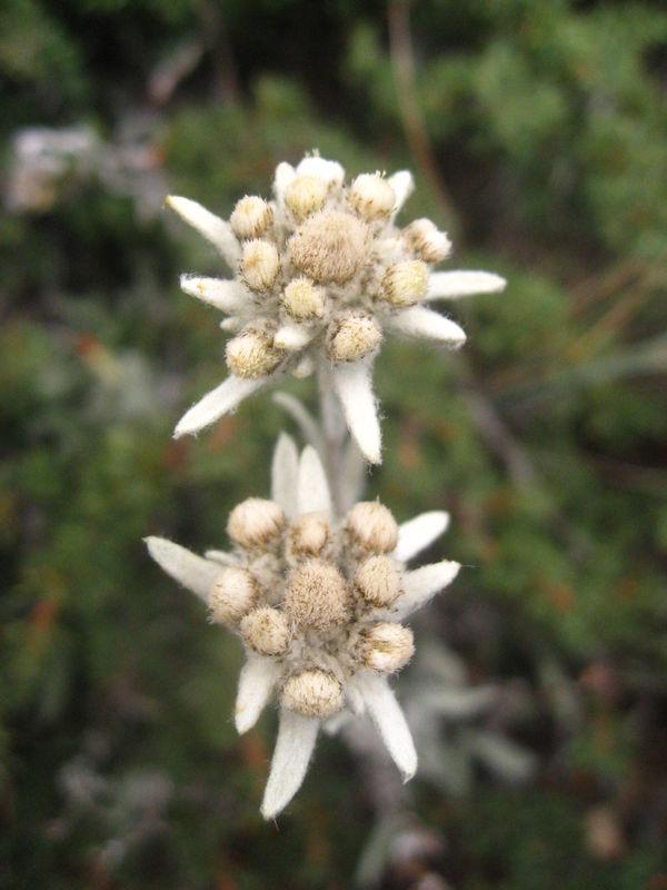 Leontopodium Himalayanum (2)