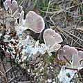 Trichaptum abietinum (1)