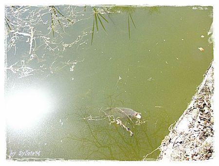 la carpe du lac audry 1