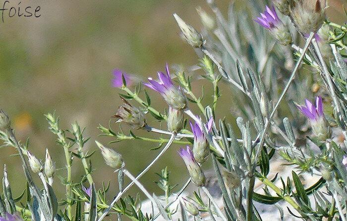 capitules de 10-18 mm solitaires ovoïdes