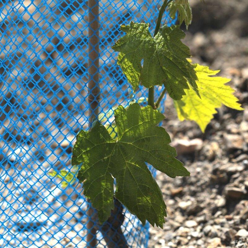 4blog bleu vigne
