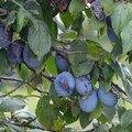Fruits de septembre incontournables en alsace-lorraine...!