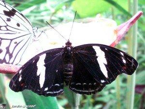 Catonephele numilia femelle • Nymphalidae