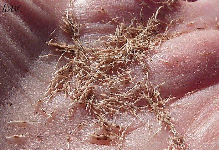 innombrables graines ailées