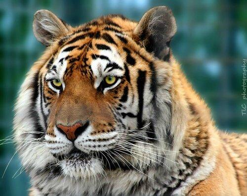 tigrelQLV1rw6hhbo1_500