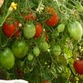 2009 09 10 Mes tomates Britain's Breakfaste