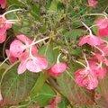 Au jardin, l'hortensia