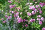Ispahan jardin roses