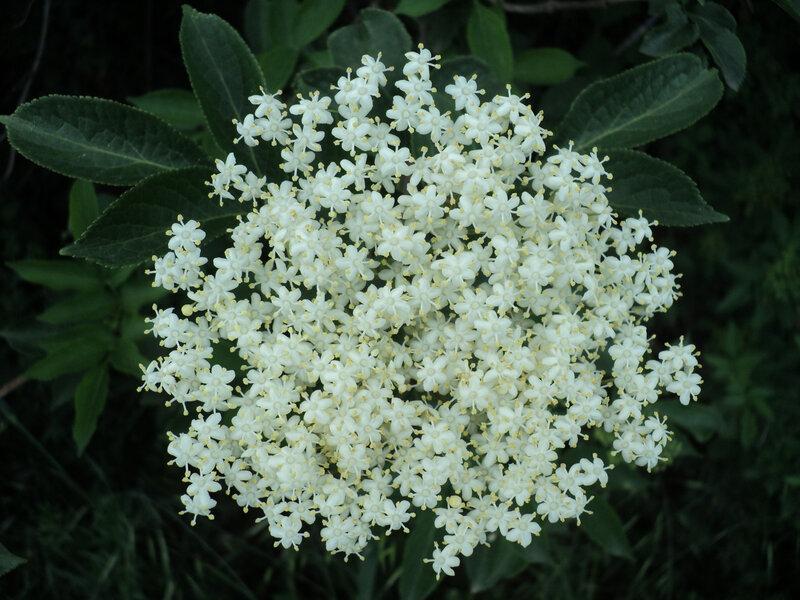 fleur blanche ronde
