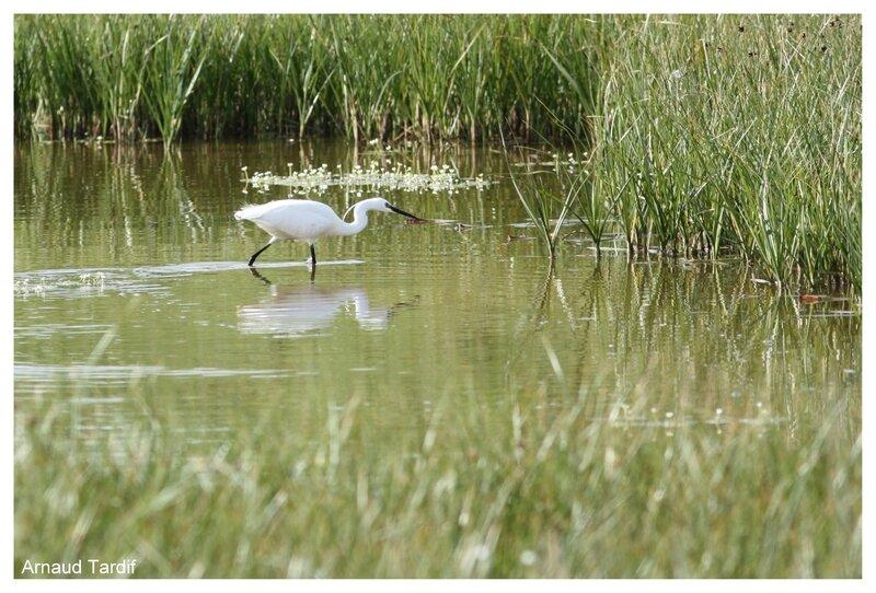 00397 Oléron Mai 2017 - La Réserve Naturelle de Moëze - Le Sentier des Tannes blog 2