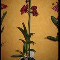 Dendrobium phalaenopsis sena red