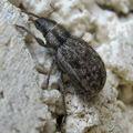 Strophomorphus porcellus