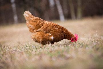 poule_24