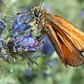 Papillon #7