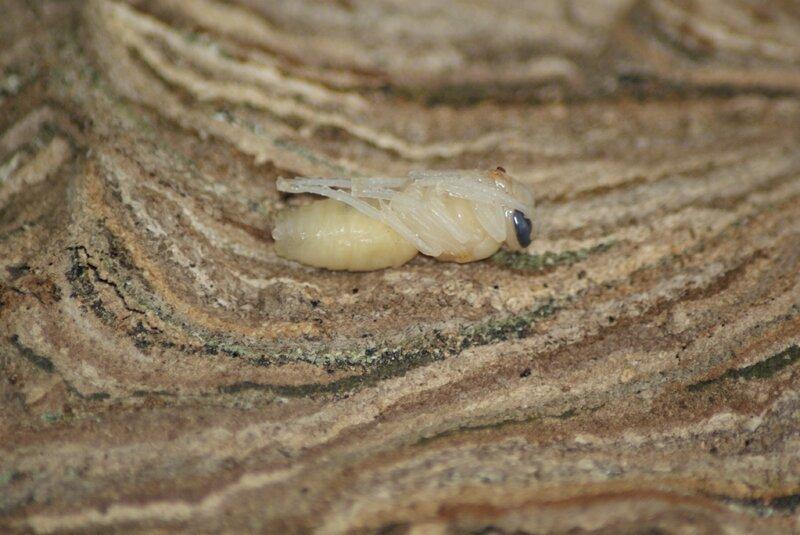 =larve de frelon asiat77
