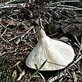 Clitocybe gibba (7)