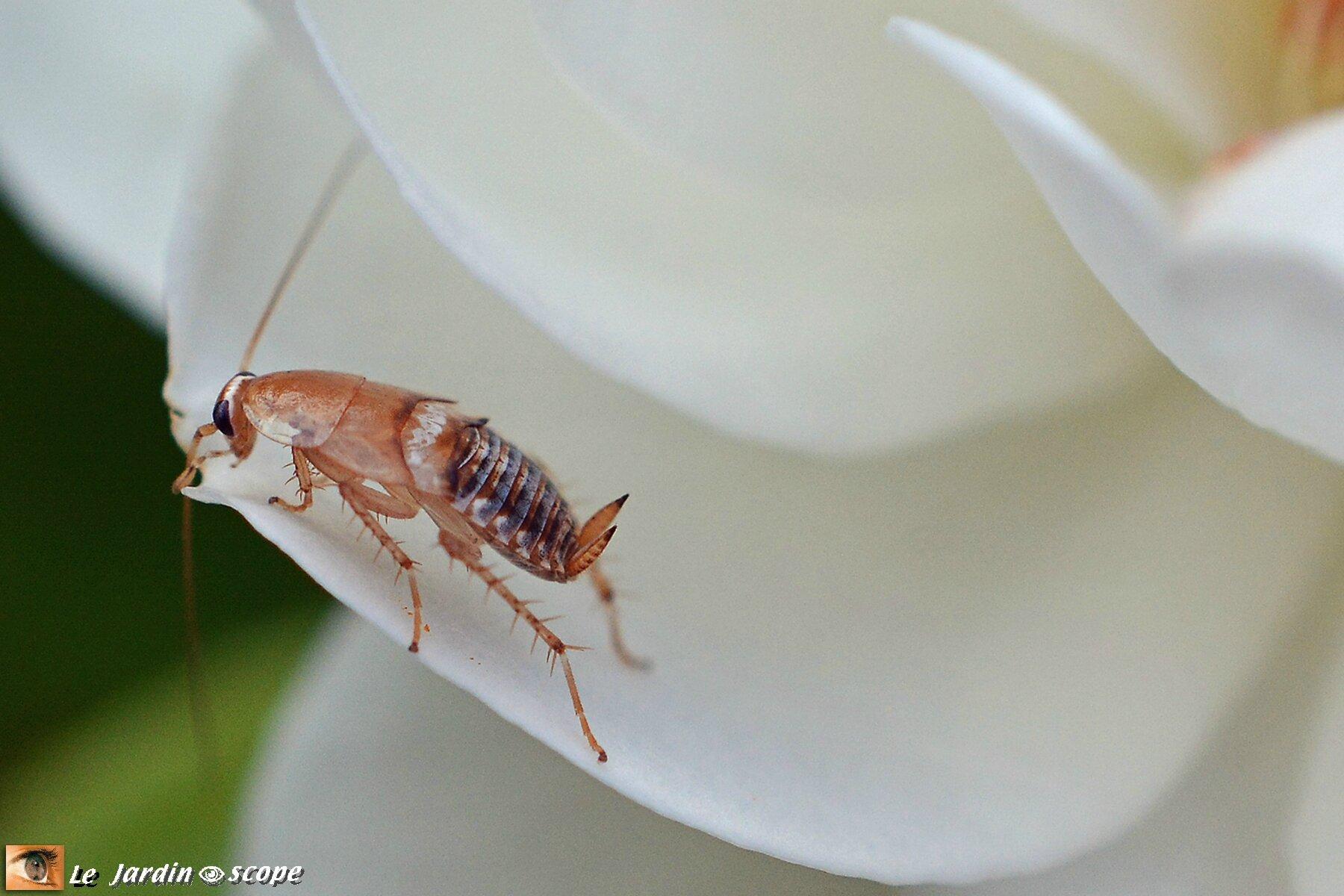 Blatte ou Cafard pâle • Ectobius pallidus • Famille des Blattellidae
