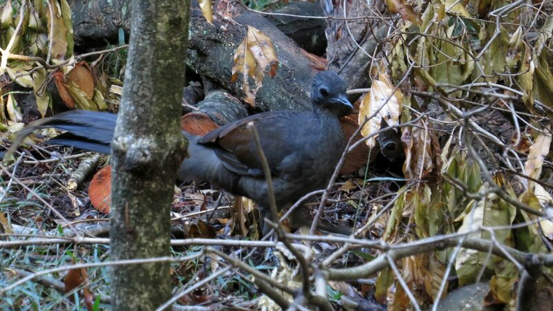 Superb_Lyrebird_(12947687595)