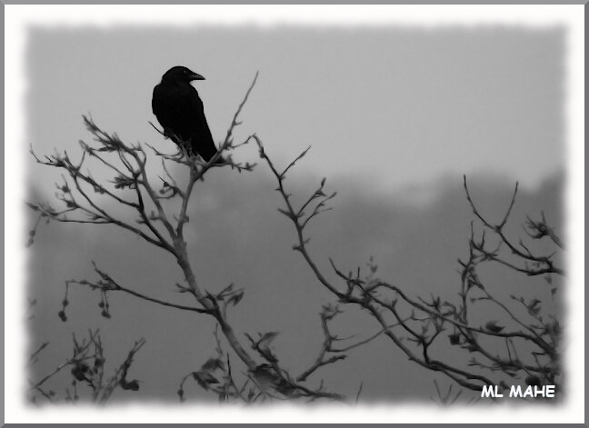 CORBEAU PHOTO ML MAHE
