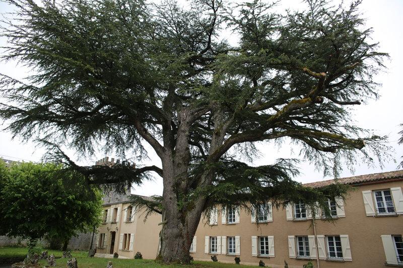 9R4A2950 cèdre du Liban Rocamadour