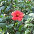 12mai2008 - fleur d'IBISCUS