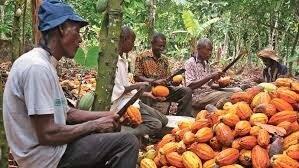 Comment la Côte d'Ivoire se retrouve avec 400 000 tonnes de cacao invendues sur les bras.