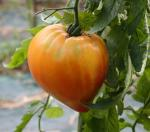 tomate russe 117