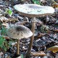 Lépiote élevée • Coulemelle • Macrolepiota procera • Agaricaceae