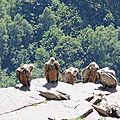 Penas d'Itxusi, falaise des vautours, vautours, proches (64)