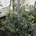 2009 07 01 Un plant d etomates sous serre avec plein de fleurs