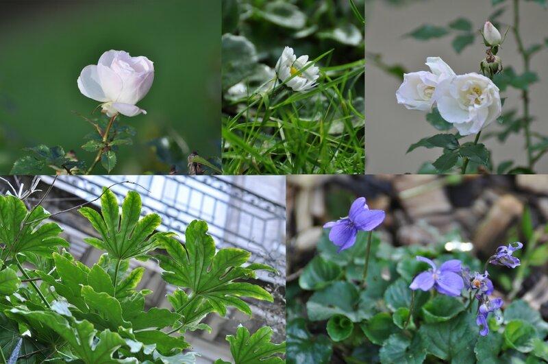 plantes cambronne