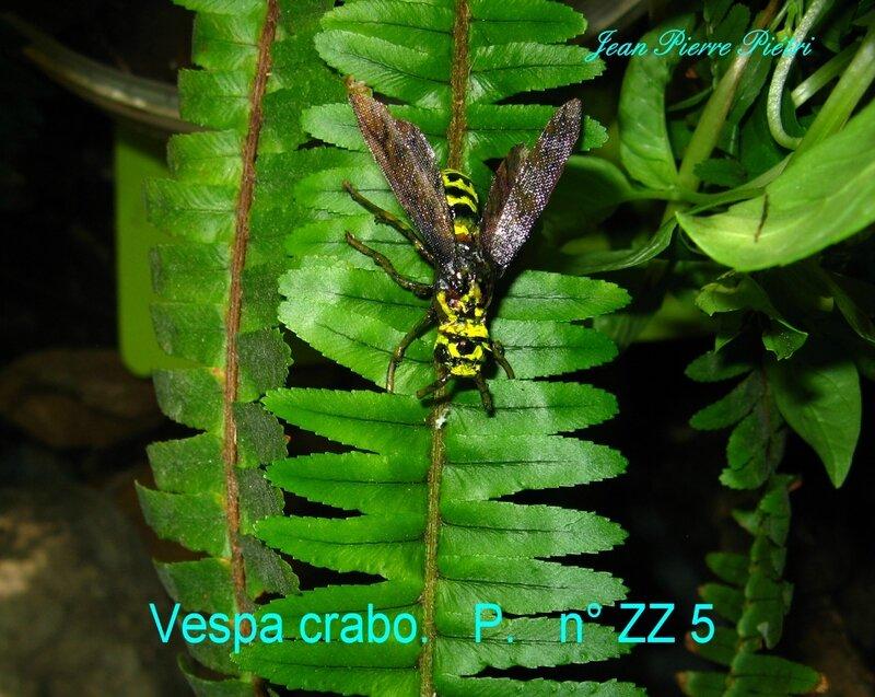 Vespa crabo
