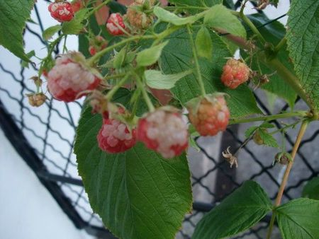 framboise taches blanches