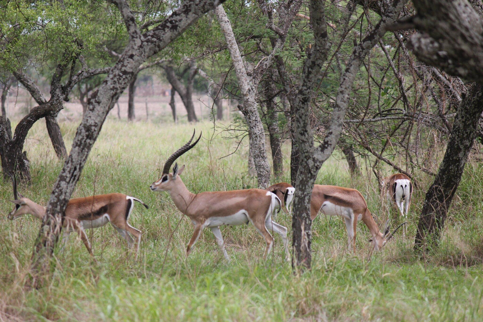 gazelles de Grant dans le parc national des lacs Abijatta et Shalla