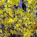La prononciation du mot forsythia
