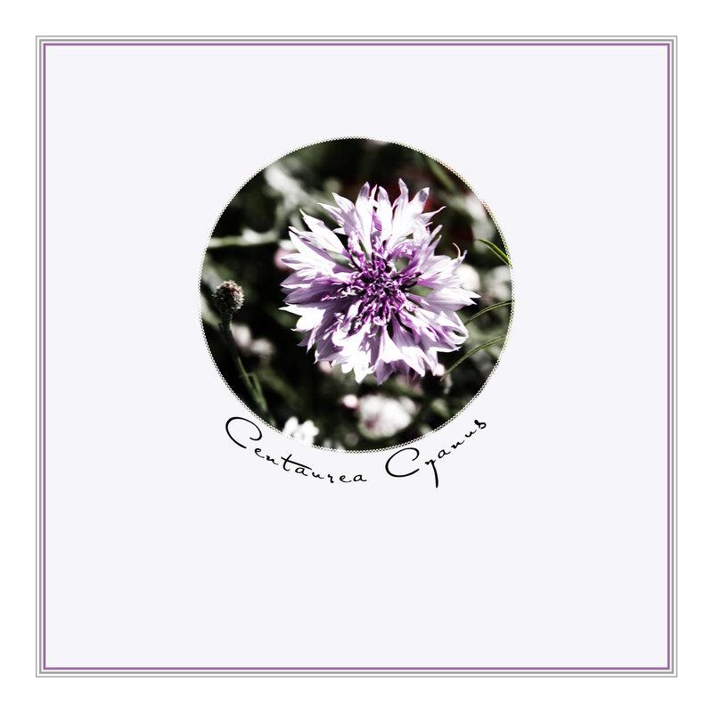 Centaurea Cyanus-