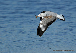 mouette_t_te_grise__3_
