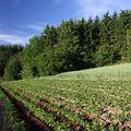 2009 06 12 Beau contraste au milieu des plants de pommes de terres