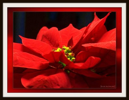 poinsettia_flower_1024