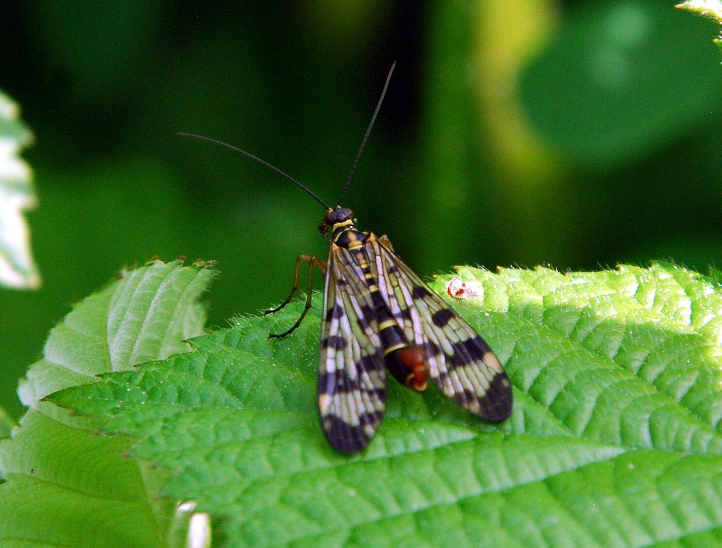 Panorpa communis (mâle)