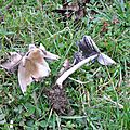Coprinus sp (2)