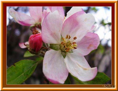 fleur-de-pommier