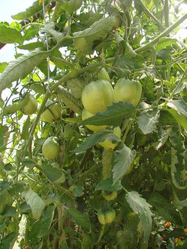 2008 08 02 Mes tomates coeur de boeuf sous serre